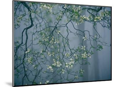 Dogwood Blossoms in a Foggy Forest-Raymond Gehman-Mounted Photographic Print