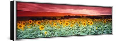 Sunflowers, Corbada, Spain--Framed Stretched Canvas Print