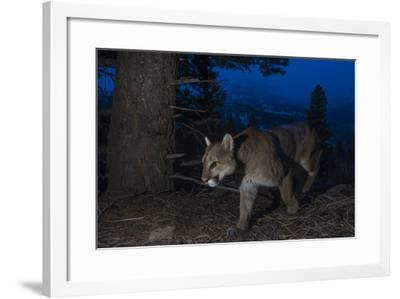 A Remote Camera Captures a Mountain Lion in Wyoming's Greater Yellowstone Ecosystem-Drew Rush-Framed Photographic Print