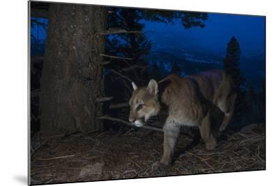 A Remote Camera Captures a Mountain Lion in Wyoming's Greater Yellowstone Ecosystem-Drew Rush-Mounted Photographic Print