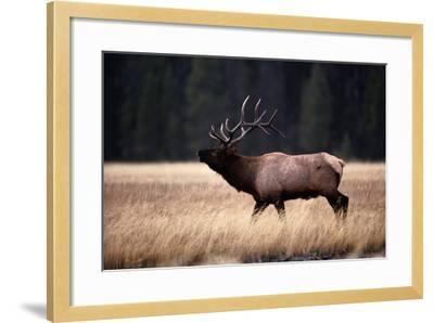 Bull Elk (Cervus Elaphus)-Raymond Gehman-Framed Photographic Print