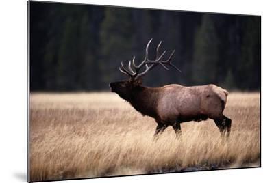 Bull Elk (Cervus Elaphus)-Raymond Gehman-Mounted Photographic Print