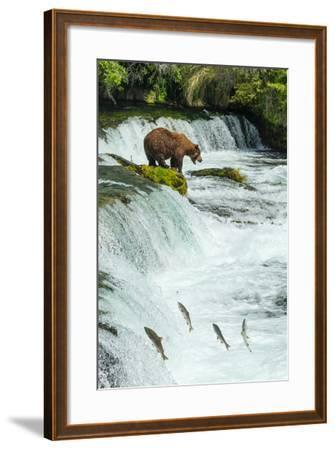 Brown Bear, Ursus Arctos, Fishing for Sockeye Salmon at Brooks Falls-Ralph Lee Hopkins-Framed Photographic Print