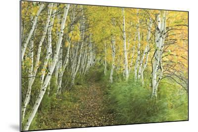 A Sedge-Lined Trail Through a Birch Forest-Michael Melford-Mounted Photographic Print