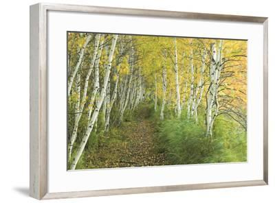 A Sedge-Lined Trail Through a Birch Forest-Michael Melford-Framed Photographic Print