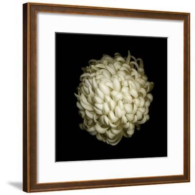 Dendra C3: White Chrysanthemum-Doris Mitsch-Framed Photographic Print