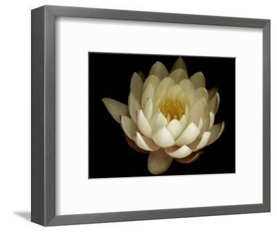 Water Lily A1: Yello & White Water Lily-Doris Mitsch-Framed Photographic Print
