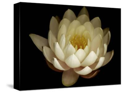 Water Lily A1: Yello & White Water Lily-Doris Mitsch-Stretched Canvas Print