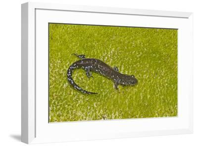 Blue spotted salamander (Ambystoma laterale) on moss, Michigan, USA-Barry Mansell-Framed Photographic Print