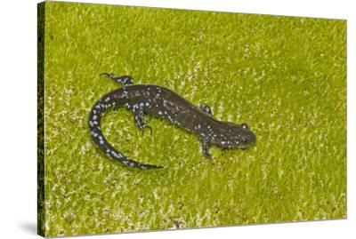 Blue spotted salamander (Ambystoma laterale) on moss, Michigan, USA-Barry Mansell-Stretched Canvas Print
