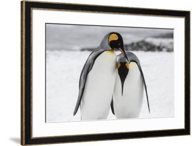 South Georgia Island, Salisbury, Plain, King Penguins-Hollice Looney-Framed Photographic Print