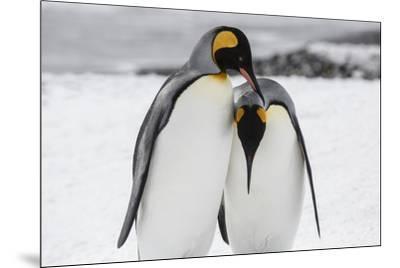 South Georgia Island, Salisbury, Plain, King Penguins-Hollice Looney-Mounted Photographic Print