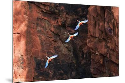 South America, Brazil, Mato Grosso do Sul, Jardim, Red-and-green macaws flying in the sinkhole.-Ellen Goff-Mounted Photographic Print