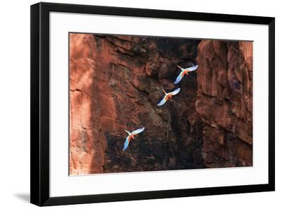 South America, Brazil, Mato Grosso do Sul, Jardim, Red-and-green macaws flying in the sinkhole.-Ellen Goff-Framed Photographic Print