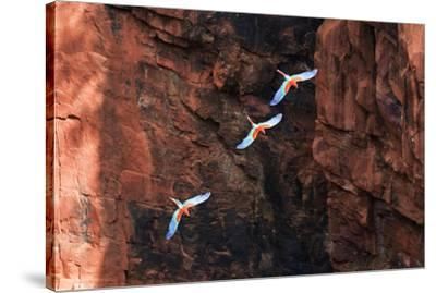 South America, Brazil, Mato Grosso do Sul, Jardim, Red-and-green macaws flying in the sinkhole.-Ellen Goff-Stretched Canvas Print