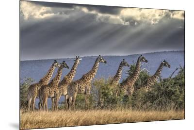 Africa, Kenya, Masai Mara National Reserve. Group of giraffes and stormy sky.-Jaynes Gallery-Mounted Photographic Print