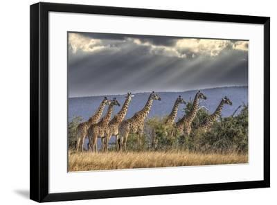Africa, Kenya, Masai Mara National Reserve. Group of giraffes and stormy sky.-Jaynes Gallery-Framed Photographic Print