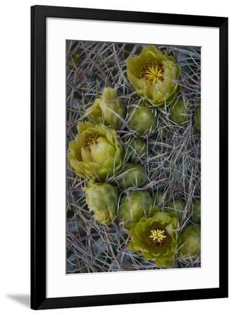 USA, California. Detail of California Barrel Cactus growing in Anza Borrego Desert State Park.-Judith Zimmerman-Framed Photographic Print