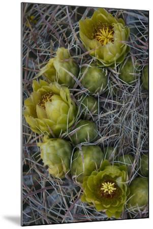 USA, California. Detail of California Barrel Cactus growing in Anza Borrego Desert State Park.-Judith Zimmerman-Mounted Photographic Print
