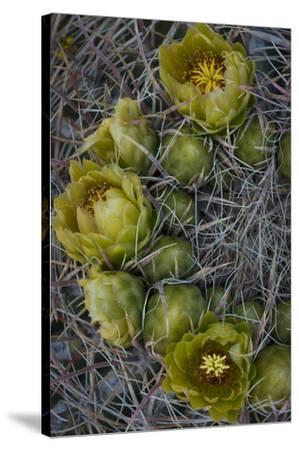 USA, California. Detail of California Barrel Cactus growing in Anza Borrego Desert State Park.-Judith Zimmerman-Stretched Canvas Print