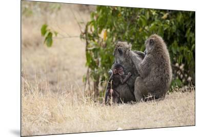Africa, Kenya, Maasai Mara, Family of Baboon Monkeys-Hollice Looney-Mounted Photographic Print