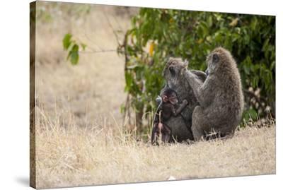 Africa, Kenya, Maasai Mara, Family of Baboon Monkeys-Hollice Looney-Stretched Canvas Print
