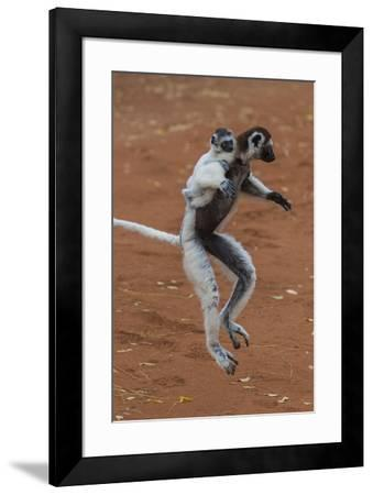 Verreaux's Sifaka, Madagascar-Art Wolfe-Framed Photographic Print