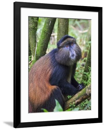 Golden Monkey, Cercopithecus Mitis Kandti, in the bamboo forest, Parc National des Volcans, Rwanda-Keren Su-Framed Photographic Print