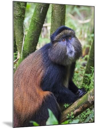 Golden Monkey, Cercopithecus Mitis Kandti, in the bamboo forest, Parc National des Volcans, Rwanda-Keren Su-Mounted Photographic Print