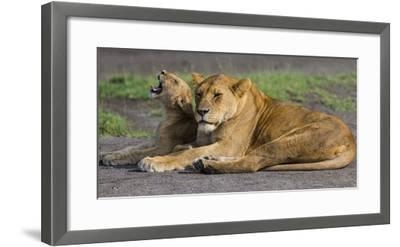 Africa. Tanzania. African lions at Ndutu, Serengeti National Park.-Ralph H^ Bendjebar-Framed Photographic Print