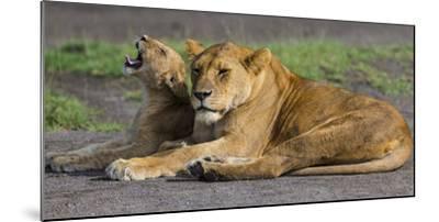 Africa. Tanzania. African lions at Ndutu, Serengeti National Park.-Ralph H^ Bendjebar-Mounted Photographic Print