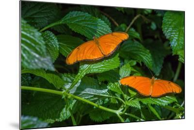 Julia Butterflies (Dryas iulia) perching on leaves, Niagara Parks Butterfly Conservatory, Niagar...--Mounted Photographic Print