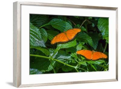 Julia Butterflies (Dryas iulia) perching on leaves, Niagara Parks Butterfly Conservatory, Niagar...--Framed Photographic Print