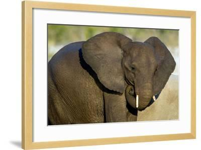 African Elephant (Loxodonta africana) at waterhole, Etosha National Park, Namibia--Framed Photographic Print