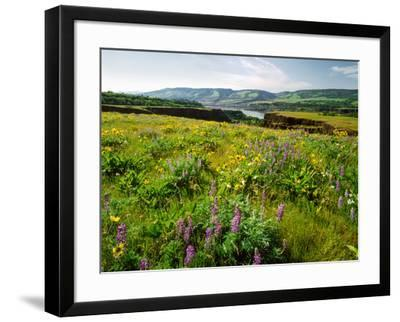 Wildflowers in a field, Columbia River, Tom McCall Nature Preserve, Columbia River Gorge Nationa...--Framed Photographic Print