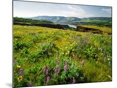 Wildflowers in a field, Columbia River, Tom McCall Nature Preserve, Columbia River Gorge Nationa...--Mounted Photographic Print