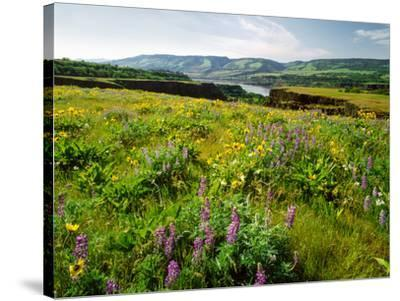 Wildflowers in a field, Columbia River, Tom McCall Nature Preserve, Columbia River Gorge Nationa...--Stretched Canvas Print