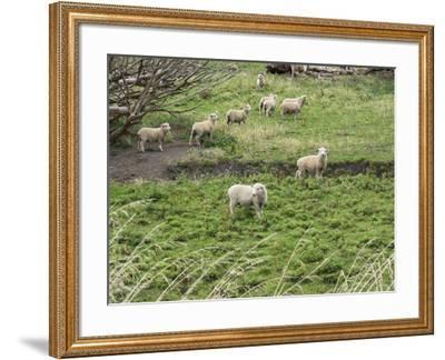 Flock of sheep grazing in a field, State Highway 1, Taihape, Manawatu-Wanganui, North Island, Ne...--Framed Photographic Print
