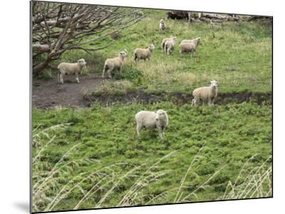 Flock of sheep grazing in a field, State Highway 1, Taihape, Manawatu-Wanganui, North Island, Ne...--Mounted Photographic Print