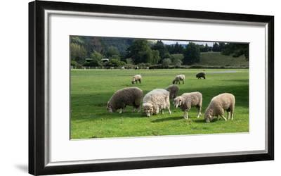Sheep grazing in a field, Agrodome, State Highway 5, Rotorua, ay of Plenty, North Island, New Ze...--Framed Photographic Print
