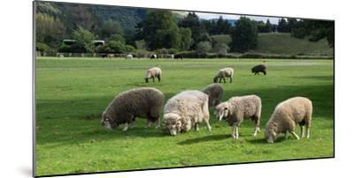 Sheep grazing in a field, Agrodome, State Highway 5, Rotorua, ay of Plenty, North Island, New Ze...--Mounted Photographic Print
