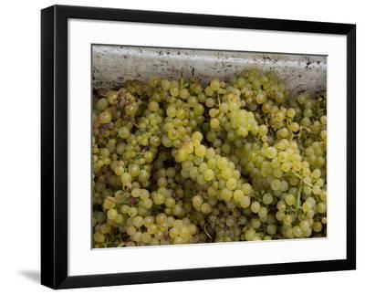 Close-up of Chardonnay grapes, Church Road Tom Chardonnay, Hawke's Bay, Hastings, North Island,...--Framed Photographic Print