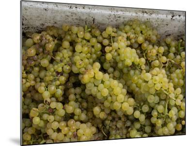 Close-up of Chardonnay grapes, Church Road Tom Chardonnay, Hawke's Bay, Hastings, North Island,...--Mounted Photographic Print