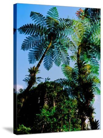 Low angle view of West Indian treefern (Cyathea arborea), Papillote Wilderness Retreat, Dominica--Stretched Canvas Print