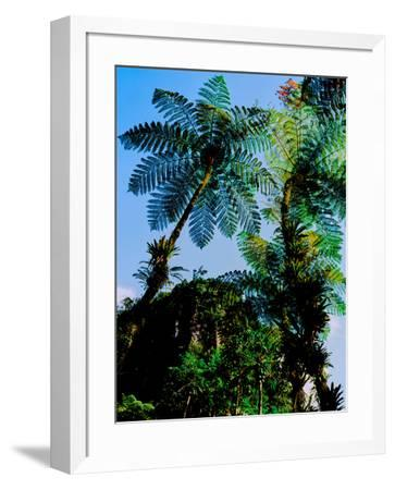 Low angle view of West Indian treefern (Cyathea arborea), Papillote Wilderness Retreat, Dominica--Framed Photographic Print