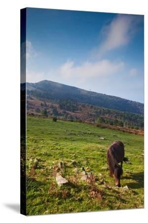 Horse grazing along the Jaizkibel Road, Hondarribia, Guipuzcoa Province, Basque Country Region,...--Stretched Canvas Print
