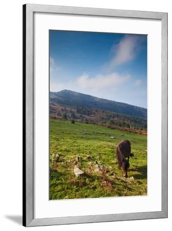 Horse grazing along the Jaizkibel Road, Hondarribia, Guipuzcoa Province, Basque Country Region,...--Framed Photographic Print
