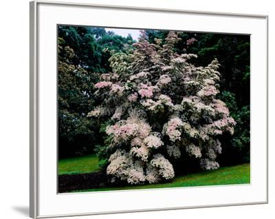 Kousa Dogwood trees (Cornus kousa) in a garden, United States National Arboretum, Washington DC...--Framed Photographic Print