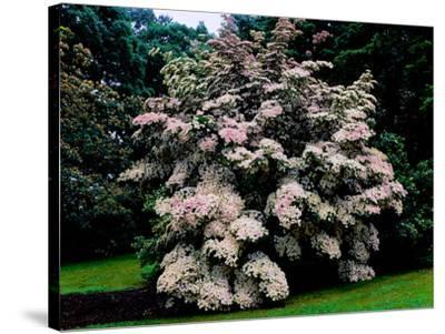 Kousa Dogwood trees (Cornus kousa) in a garden, United States National Arboretum, Washington DC...--Stretched Canvas Print