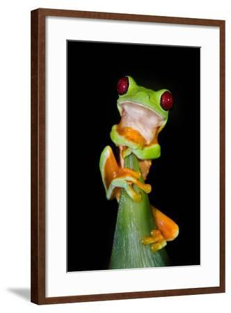 Red-Eyed Tree Frog (Agalychnis callidryas), Tarcoles River, Pacific Coast, Costa Rica--Framed Photographic Print